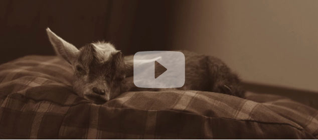 IT ALL STARTED WITH A GOAT NAMED WILLIAMS  See the true story behind the creation of the Orvis Dog's Nest.  Watch Now