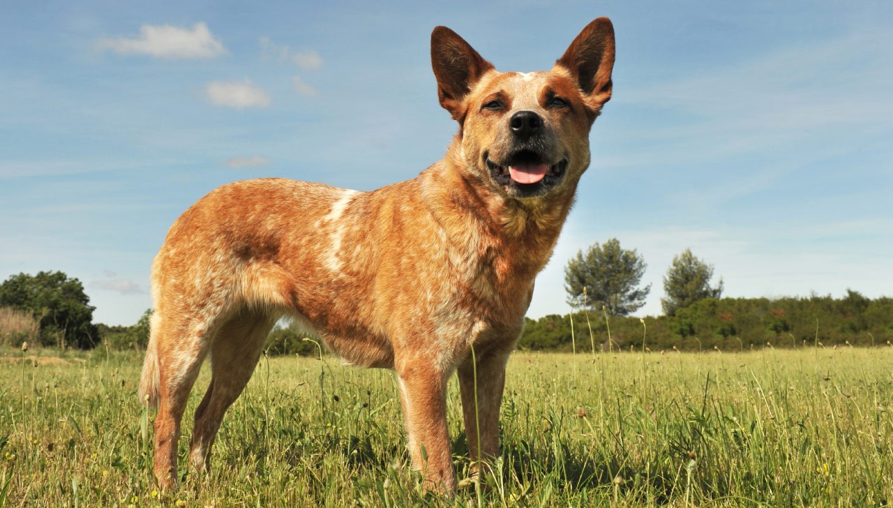 Oklahoma - Australian Cattle Dog