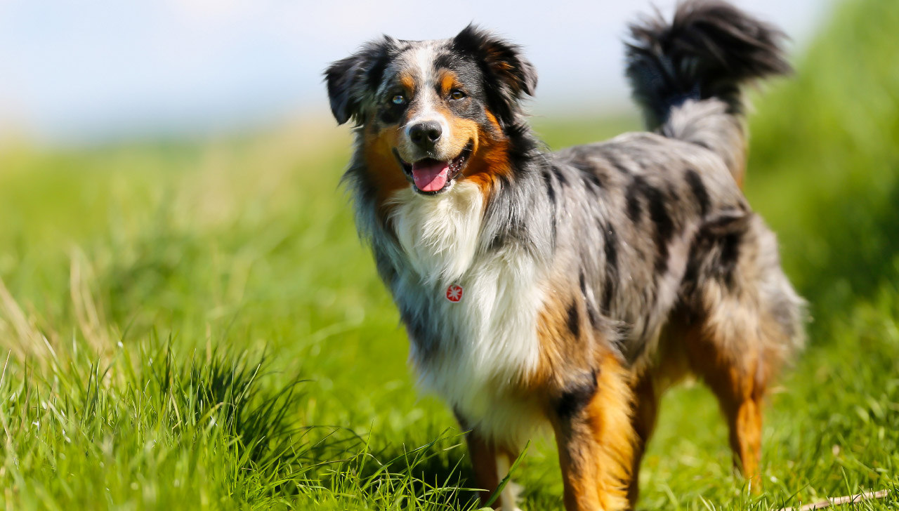 Colorado - Australian Shepherd