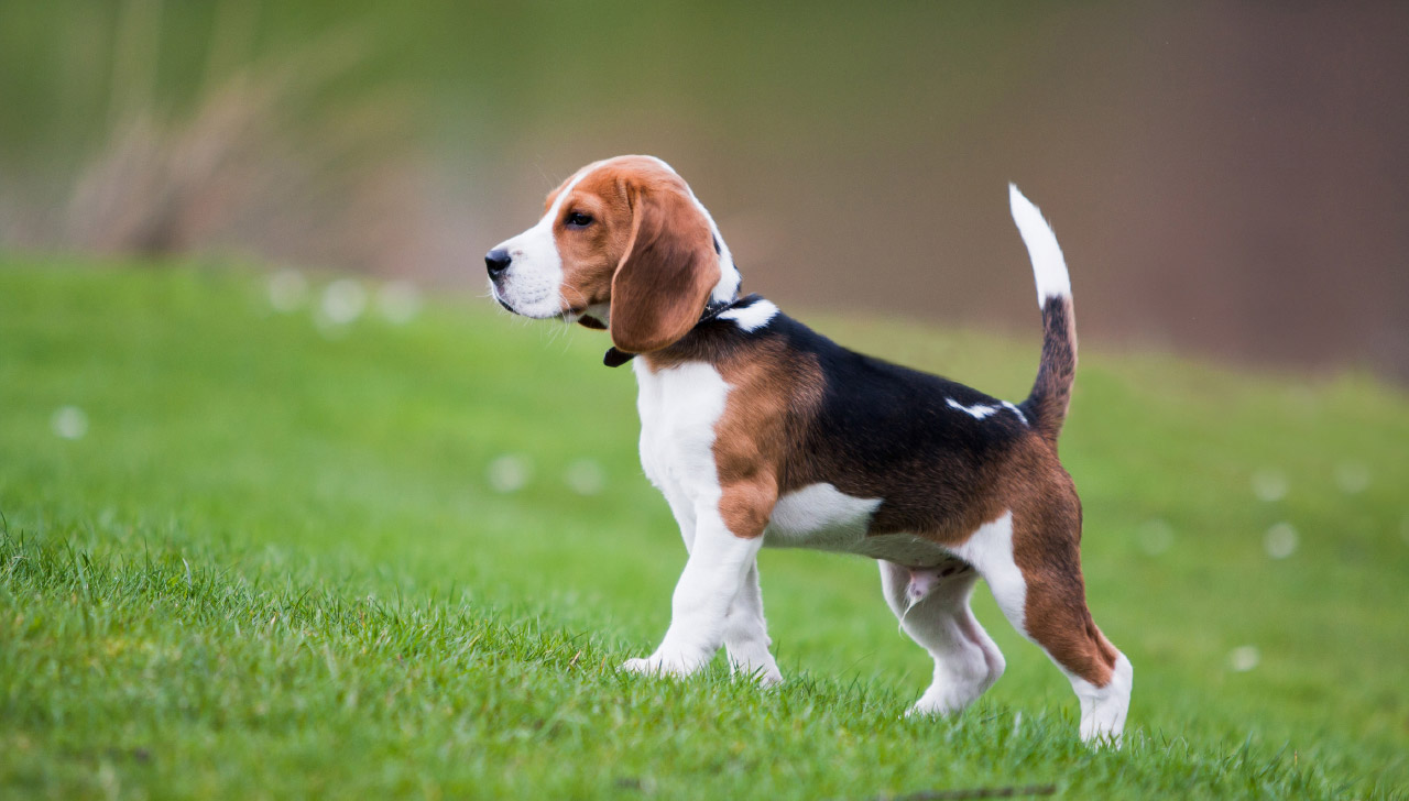 Kentucky - Beagle