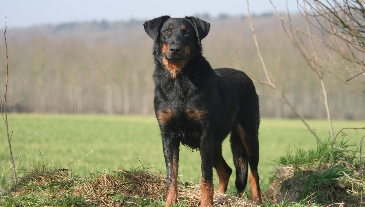 Beauceron - All About Dogs