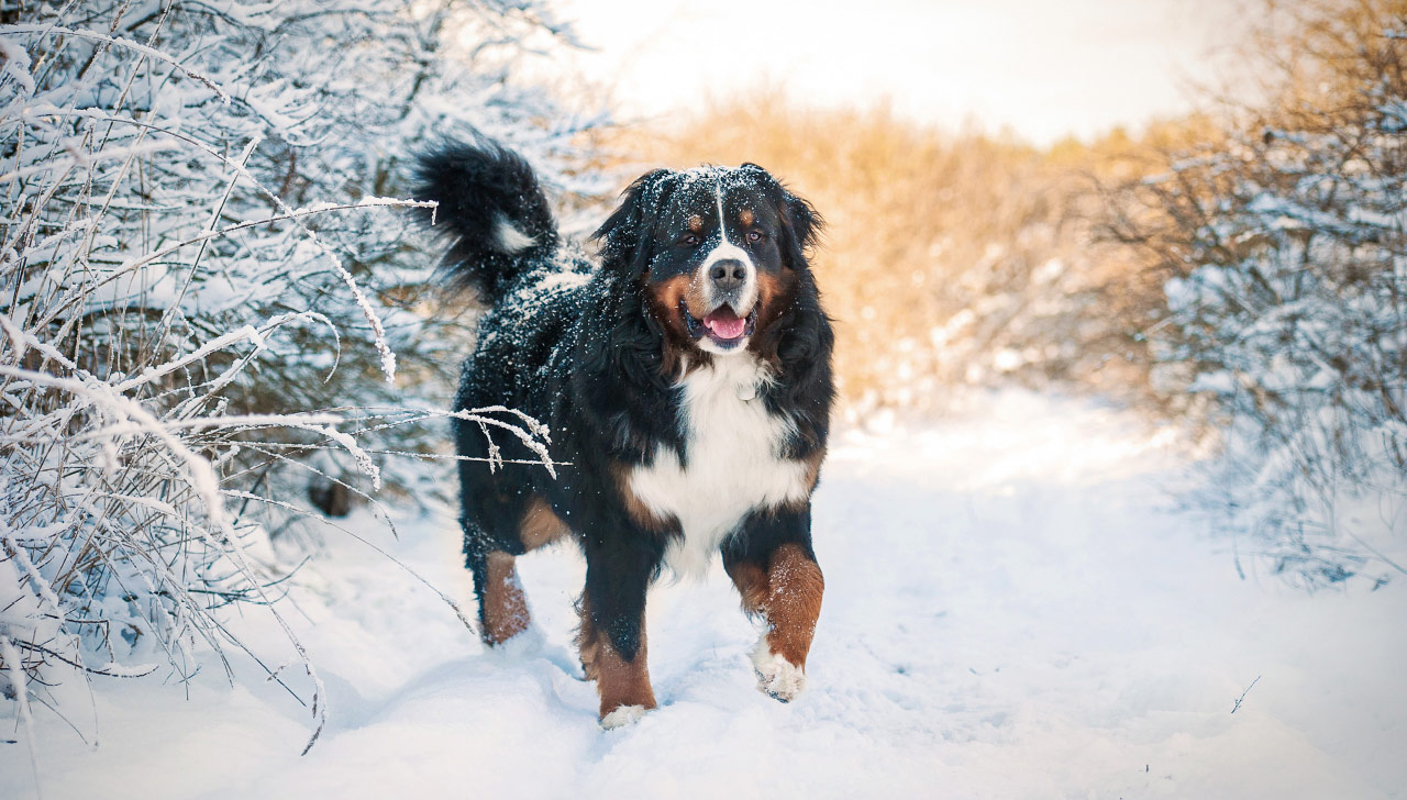 Bernese Mountain Dog All About Dogs