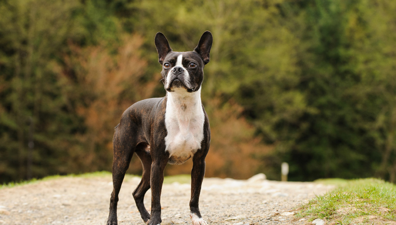 Massachusetts - Boston Terrier