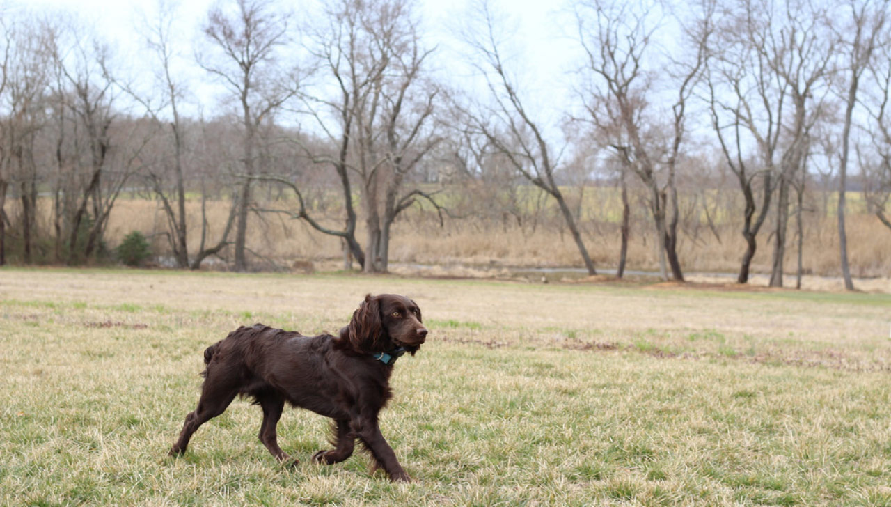 Boykin Spaniel All About Dogs
