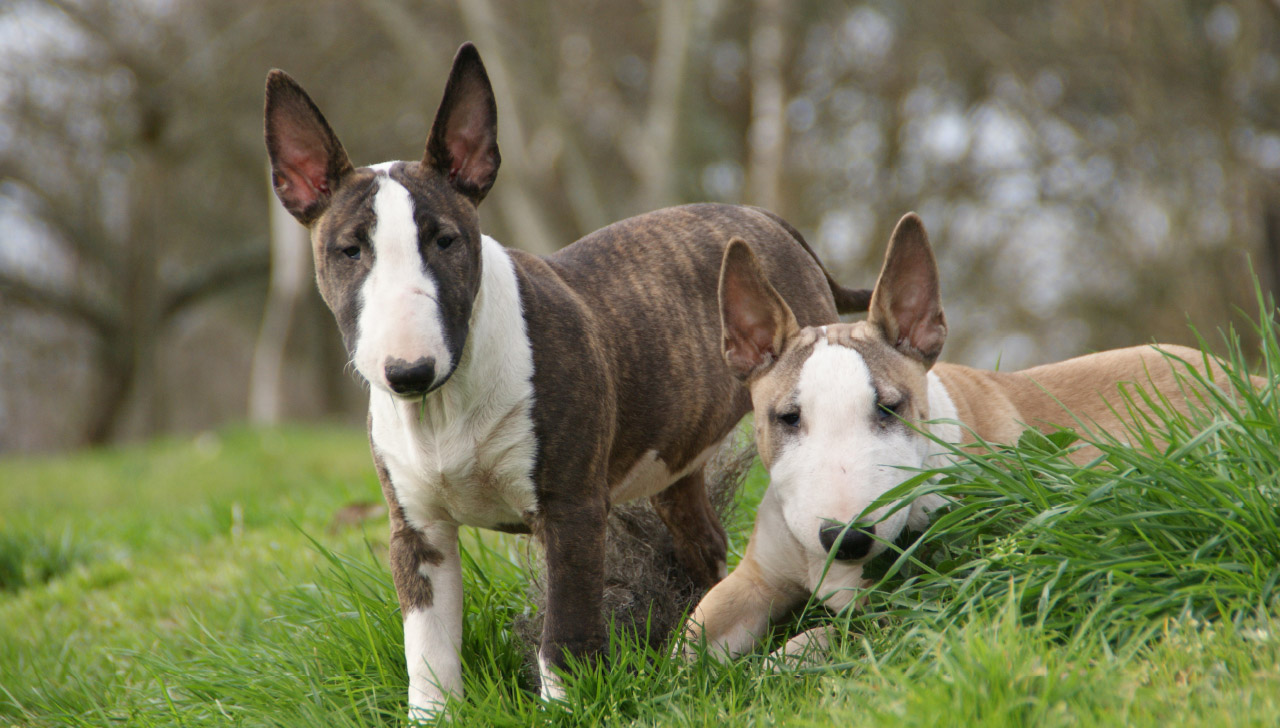 7b394b8c Bull Terrier - All About Dogs