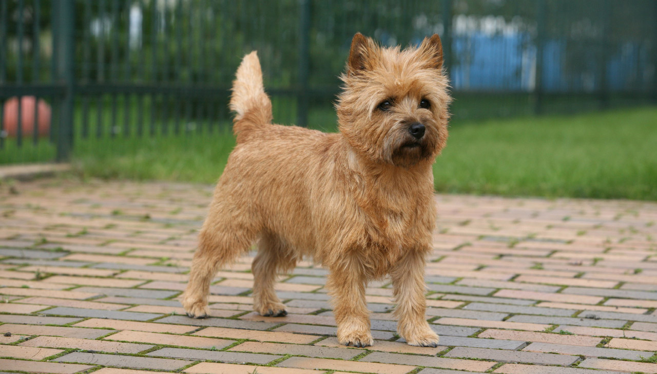 Kansas - Cairn Terrier