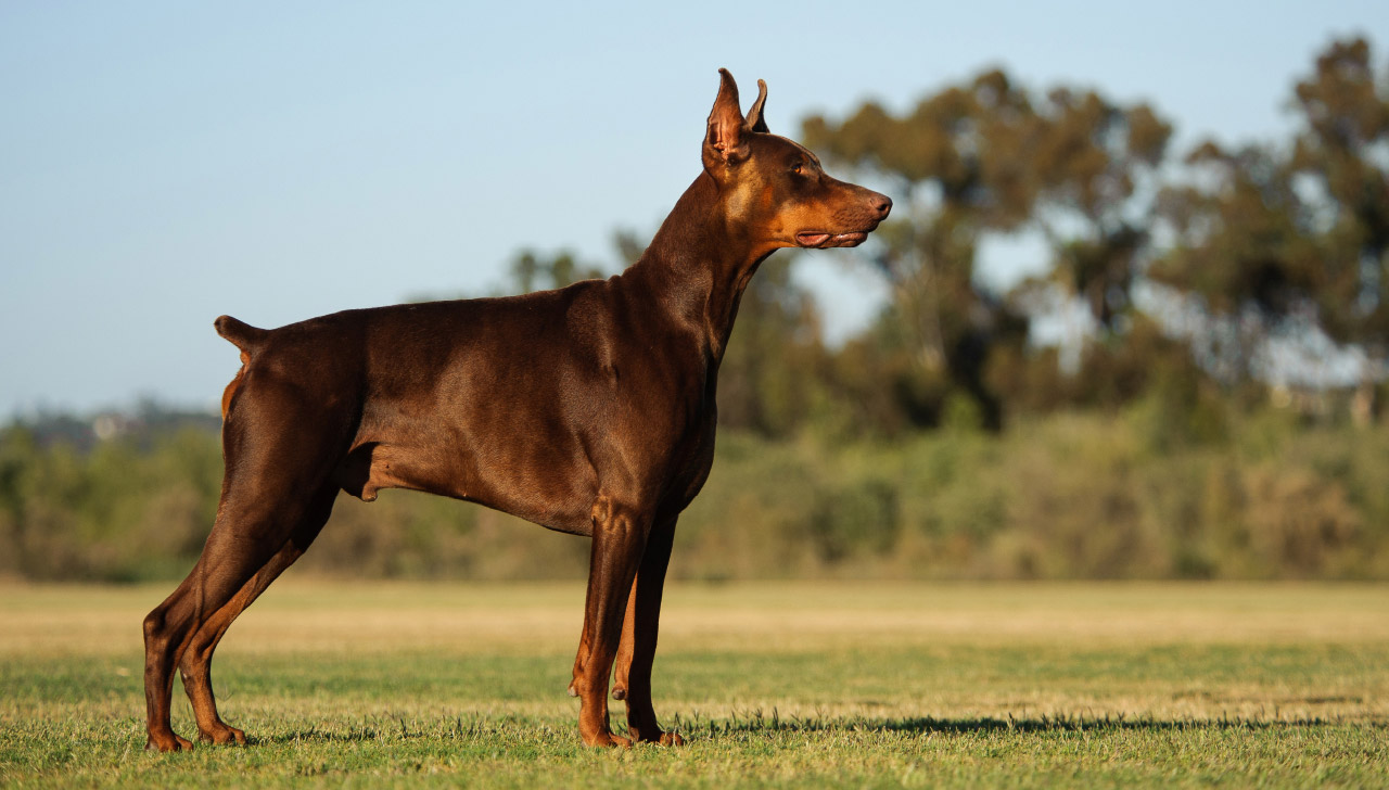 Arizona - Doberman