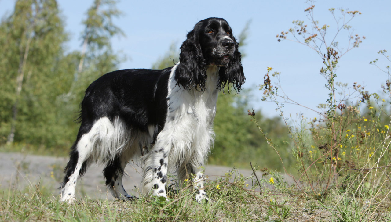 English Springer Spaniel All About Dogs