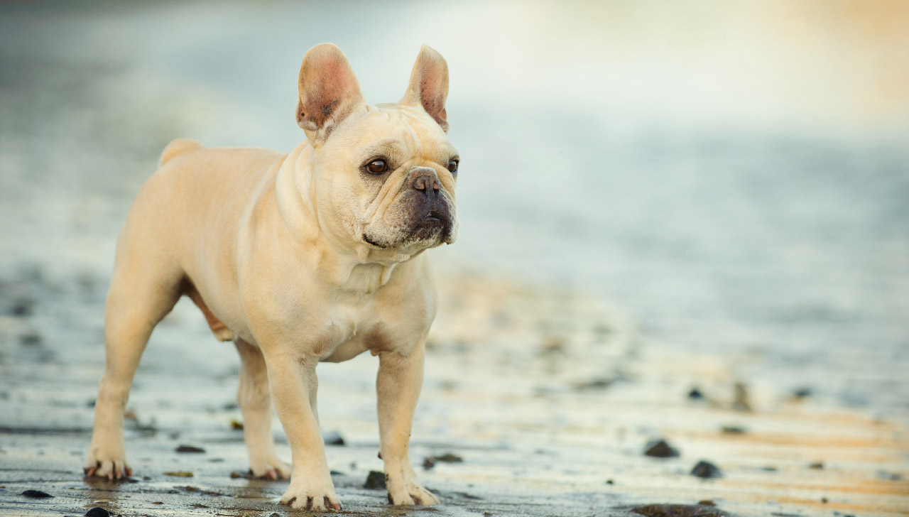 Hawaii - French Bulldog