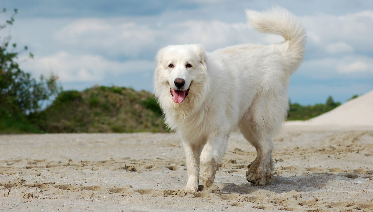 Maine - Great Pyrenees