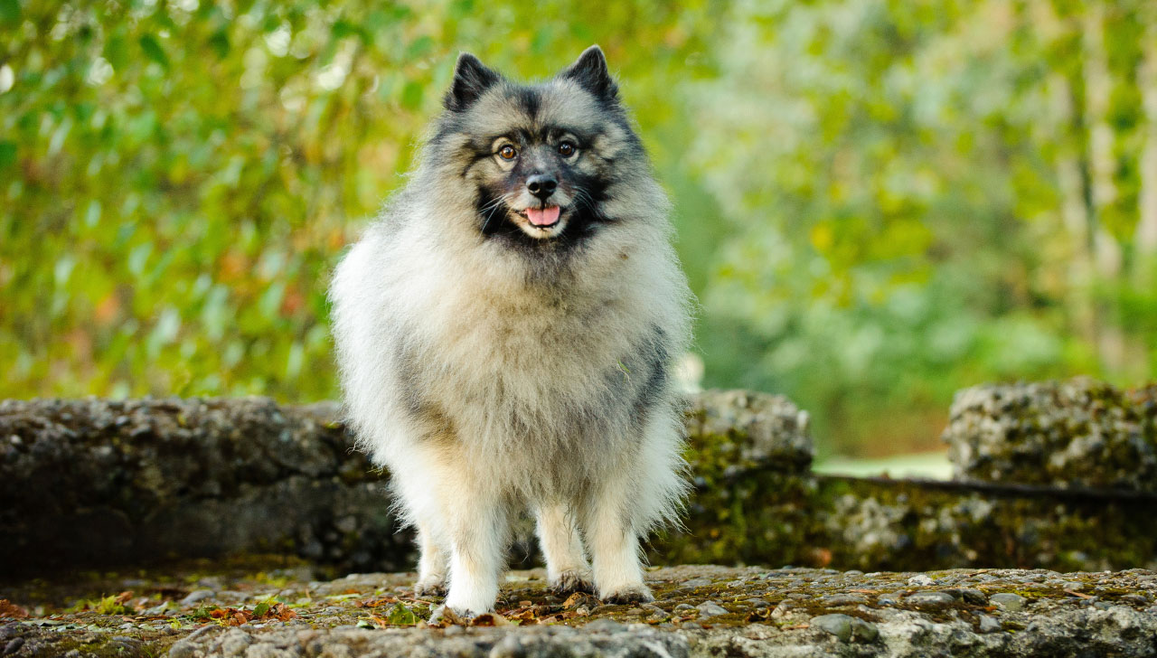 d5b5d1595a0f6 Keeshond - All About Dogs