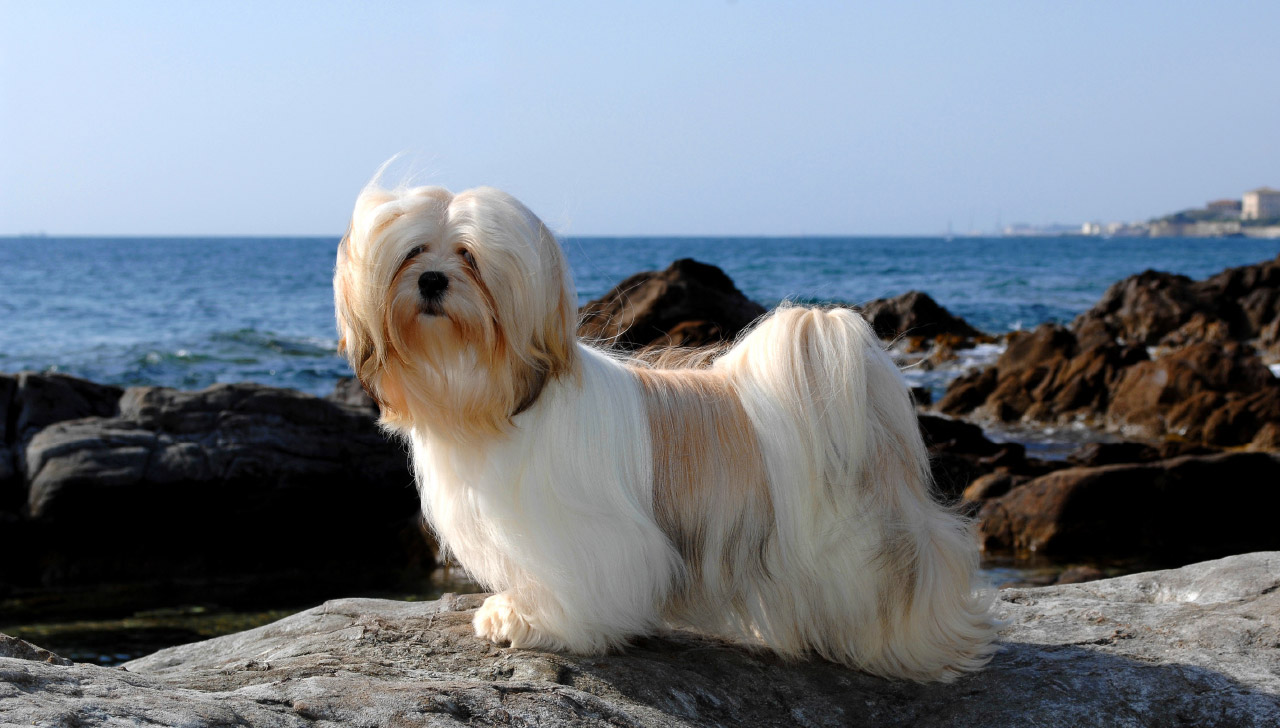 Lhasa Apso All About Dogs