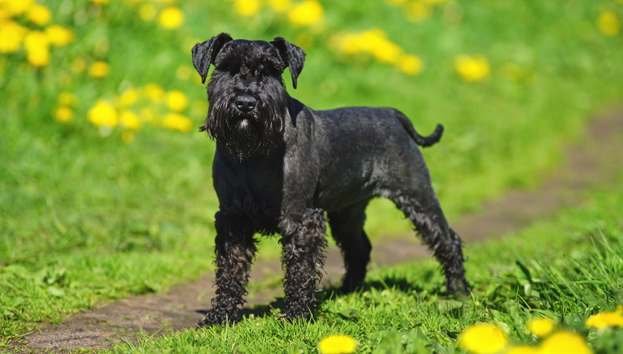 Miniature Schnauzer All About Dogs