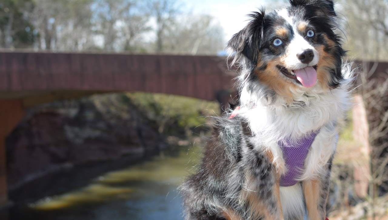 Miniature American Shepherd All About Dogs