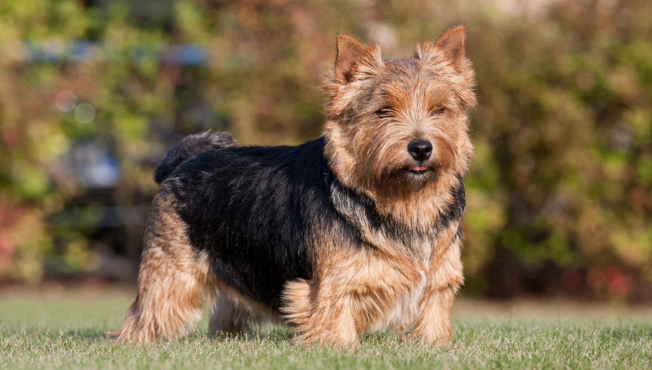 Norwich Terrier - All About Dogs