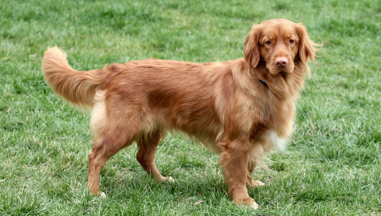 Nova Scotia Duck Tolling Retriever All About Dogs