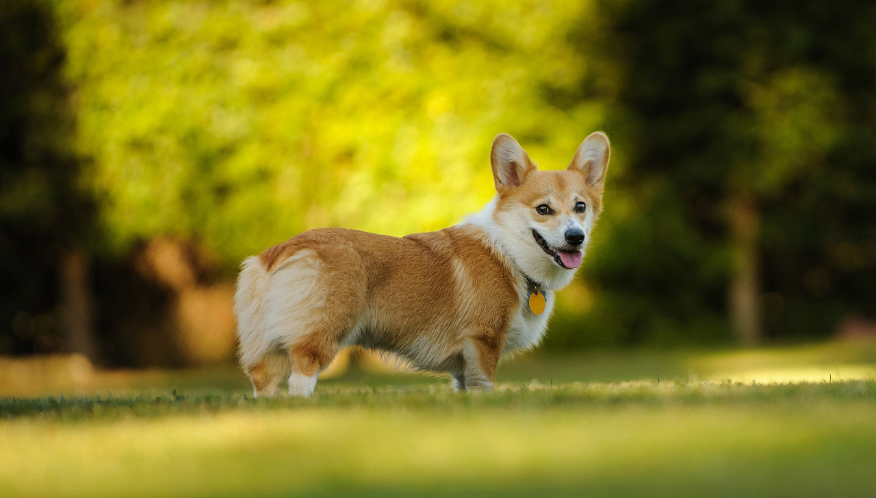 Pembroke Welsh Corgi All About Dogs