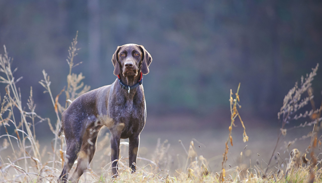The German Shorthaired Pointer (GSP)