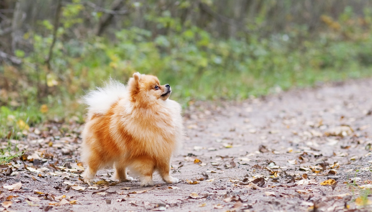 Pomeranian All About Dogs