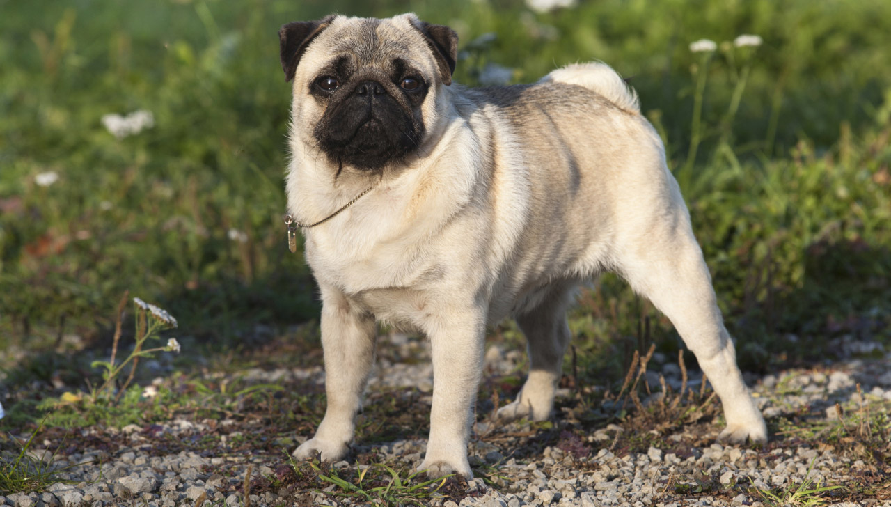 f9fcf941ab8 Pug - All About Dogs