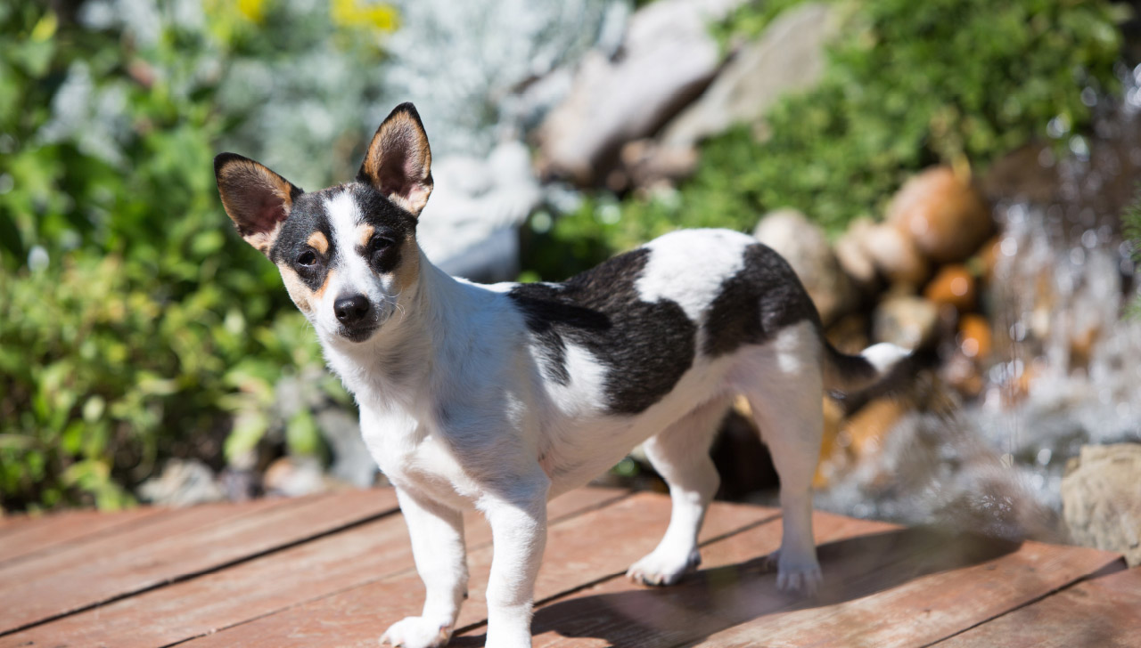 Rat Terrier - All About Dogs