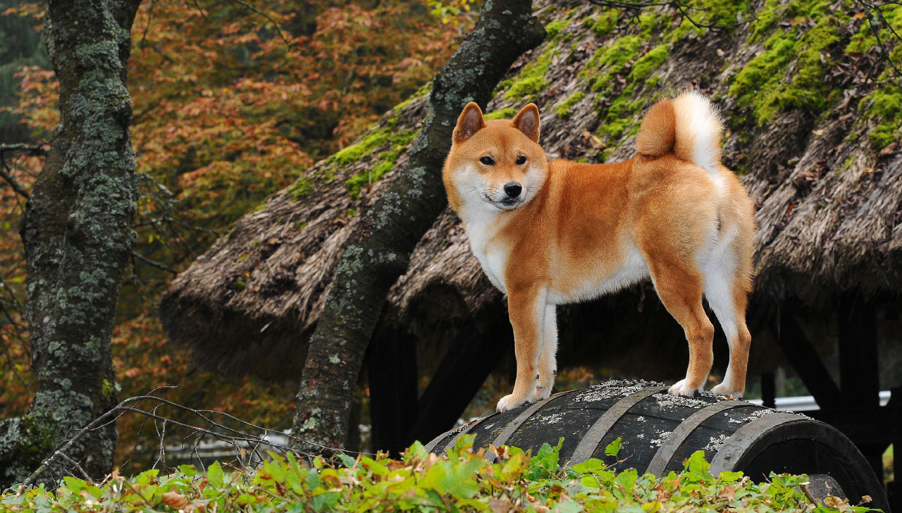Shiba Inu - All About Dogs