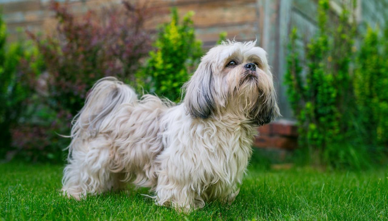 Shih Tzu All About Dogs