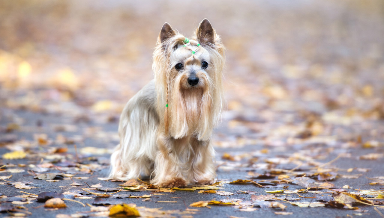 Silky Terrier - All About Dogs