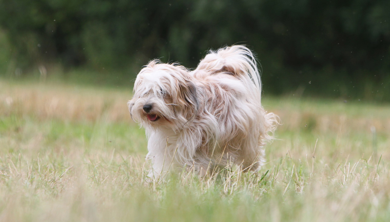 Tibetan Terrier All About Dogs