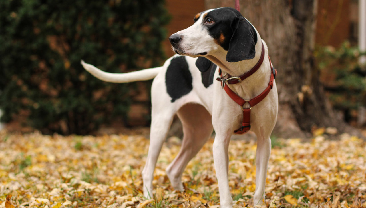 0b44cd07 Treeing Walker Coonhound - All About Dogs