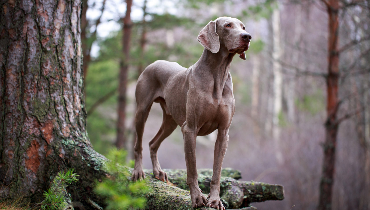 Weimaraner All About Dogs