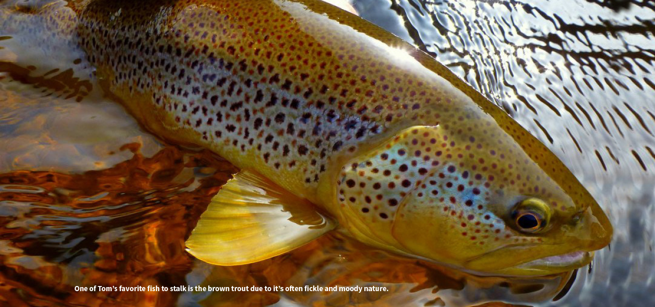 One of Toms favorite fis to stalk is the brown trout due to its often fickle and moody nature